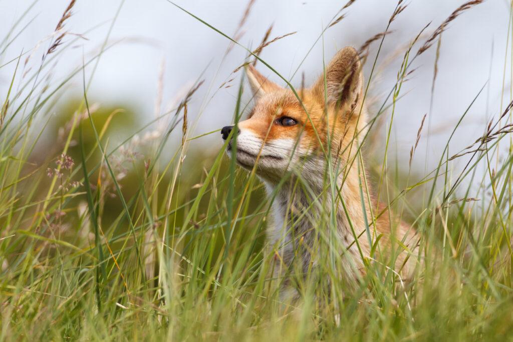 Kuvassa vapaa ketunpoikanen heinien seassa tarkkailee ympäristöä.