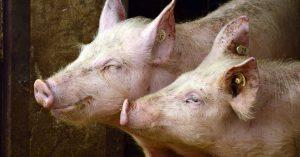 Kuvassa kaksi sikaa.