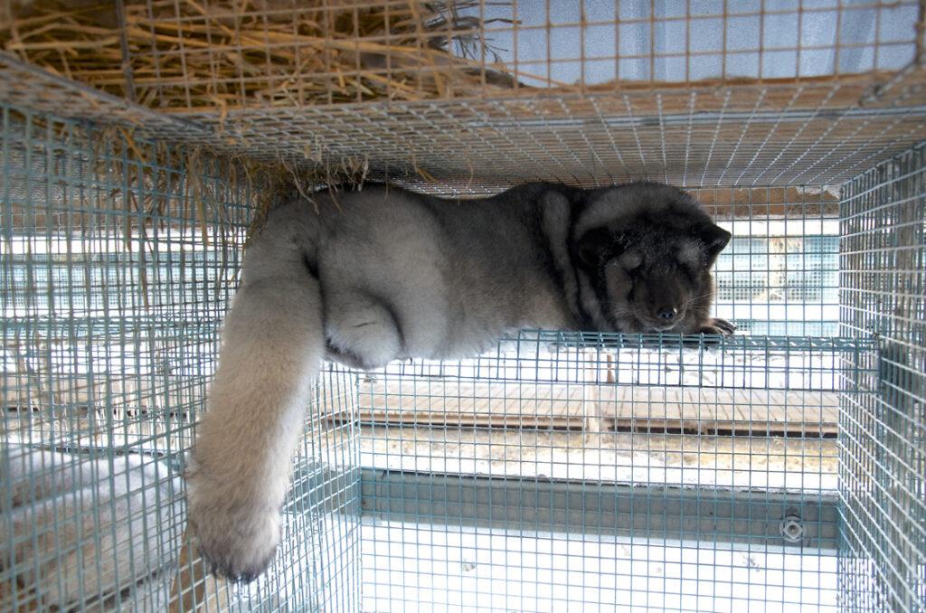 Sinikettu makaa verkkohyllyllä häkissä turkistarhalla.