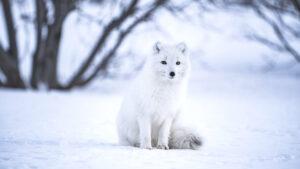 Naali istuu lumihangella.