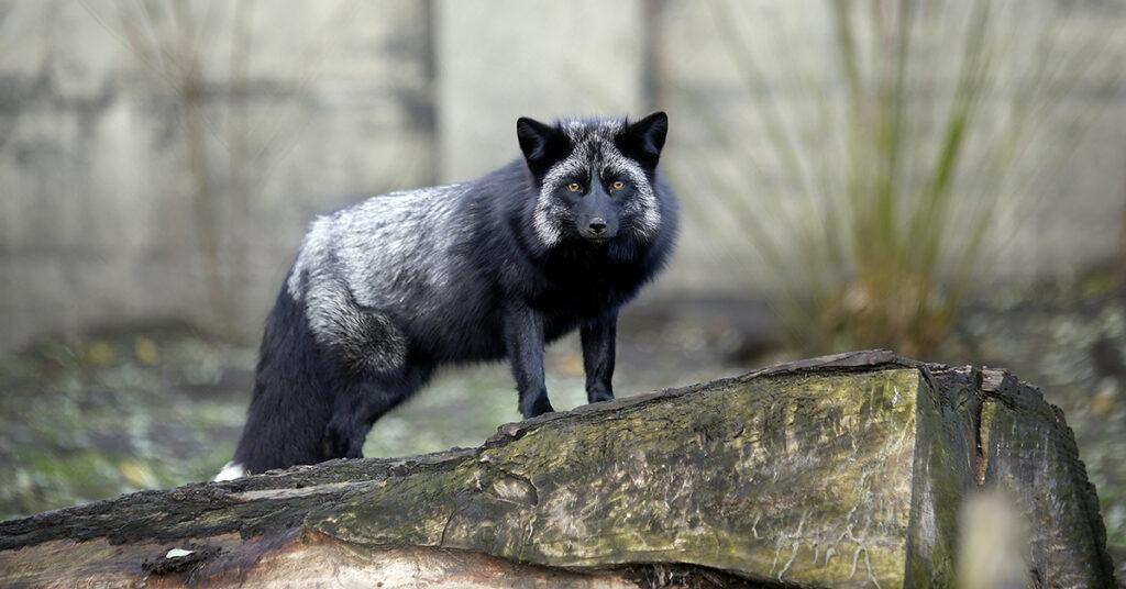 Pelastettu hopeakettu puolalaisessa eläinten turvakodissa.