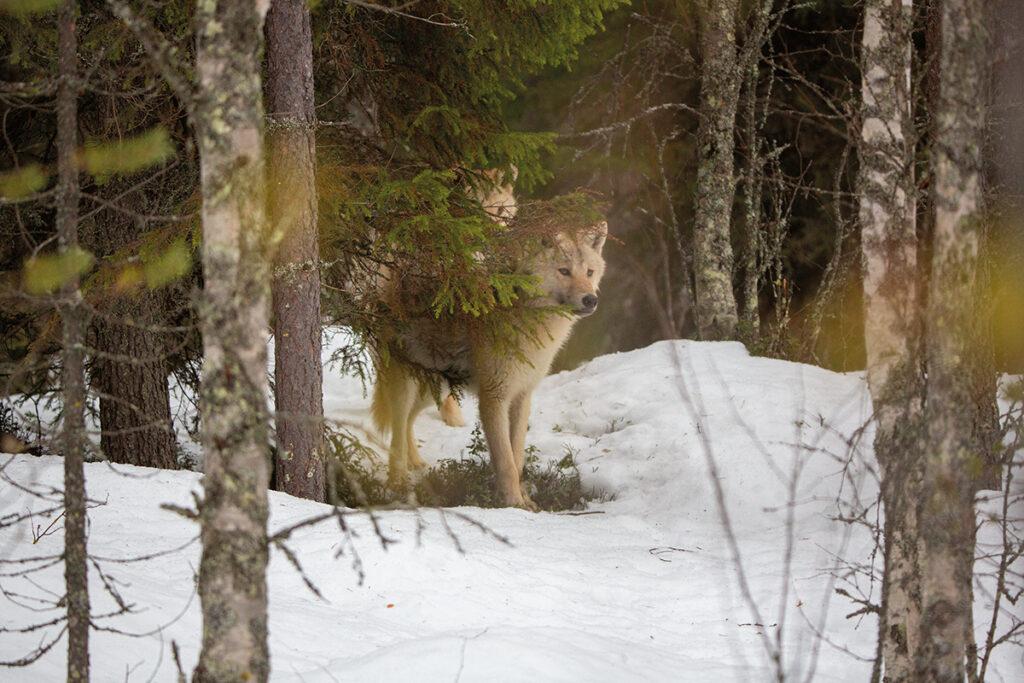 Susia puiden takana metsässä. Kuva kirjasta Susien mailla. Kuvaaja Kari Kemppainen.