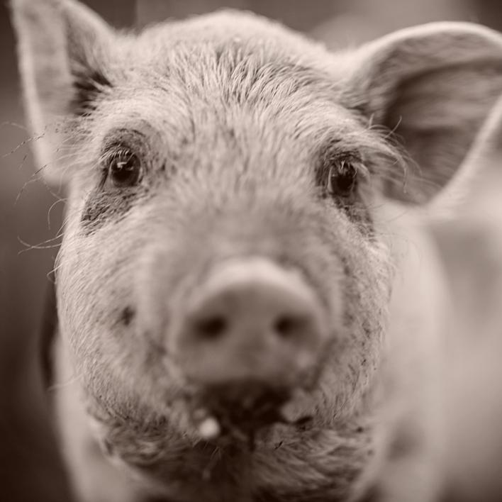 Lähikuvassa pikku possu. Animalian aineettomalla lahjalla autat eläimiä.