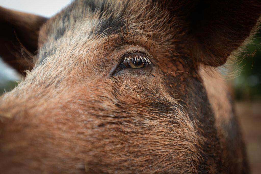Kuukausilahjoitus eläimille on tapa sitoutua muutokseen eläinten hyväksi. Kuvituskuva ruskeasta siasta. äkyy sian silmä ja naama.