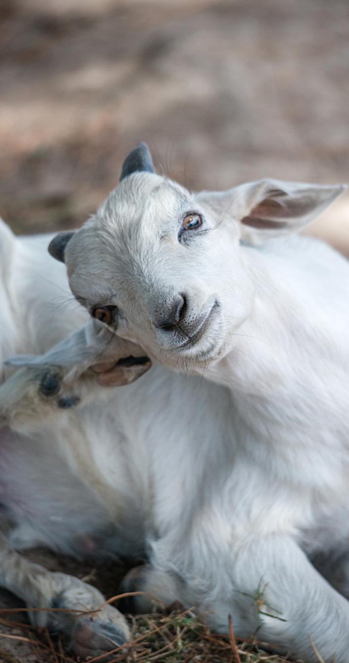 Keräys eläimille on kiva tapa innostaa muutkin auttamaan. Kuvituskuvassa vuohi.