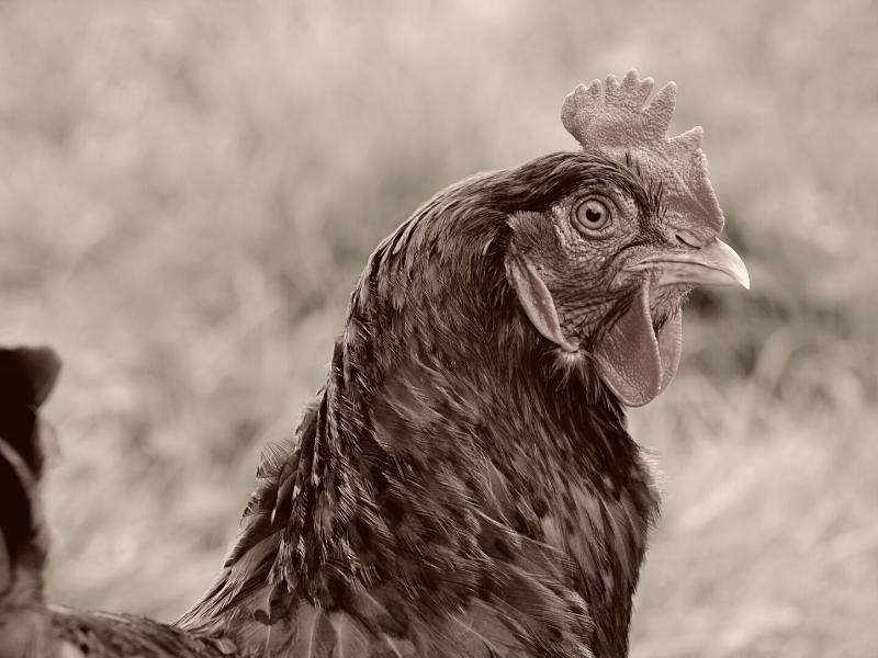 Kana katsoo kameraan. Kuvituskuva Animalian aineettomat lahjat -sivulla.