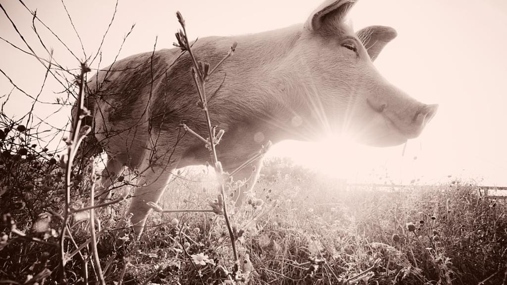 Tulevaisuudessa jokainen sika on vapaa. Lahjoitus eläimille auttaa.