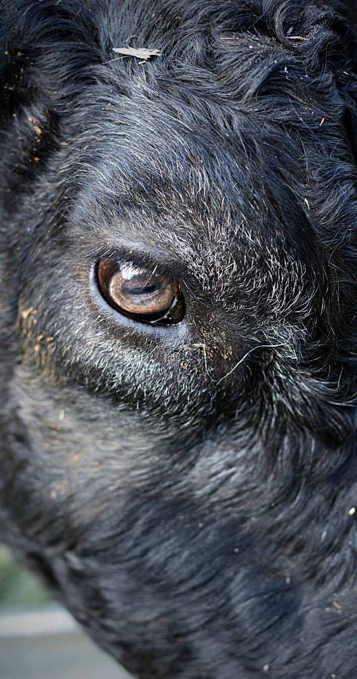 Lahjoitus eläimille käytetään eläinten oikeuksien edistämiseen. Kuvituskuva naudasta.