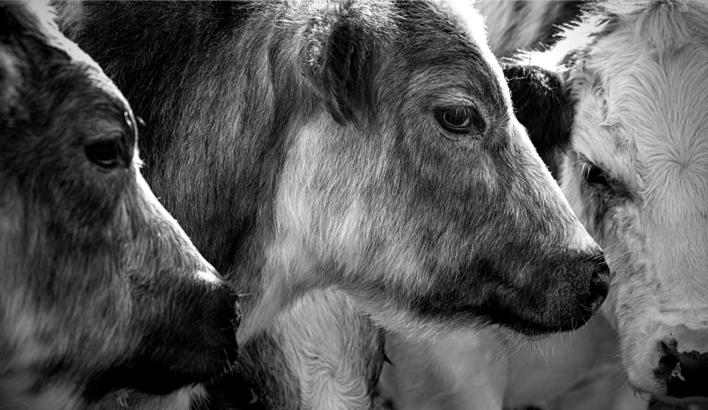 Lahjoittaminen on yksi tapa edistää eläinten oikeuksia. Kuvituskuvassa nautoja.